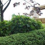 Hydrangeas, not yet in bloom