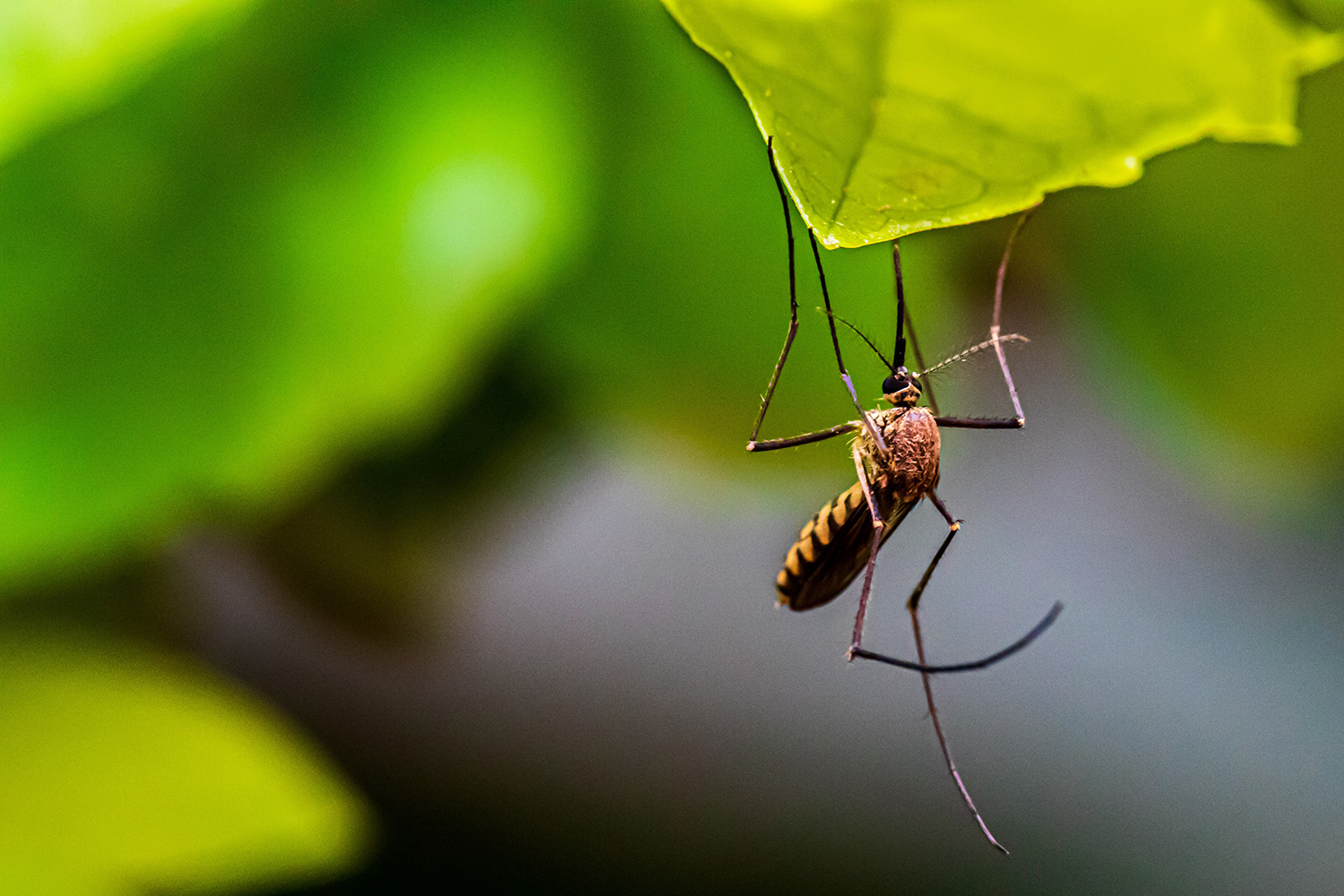 How_to_Get_Rid_of_Mosquitoes_without_Harming_Bees_Other_Pollinators