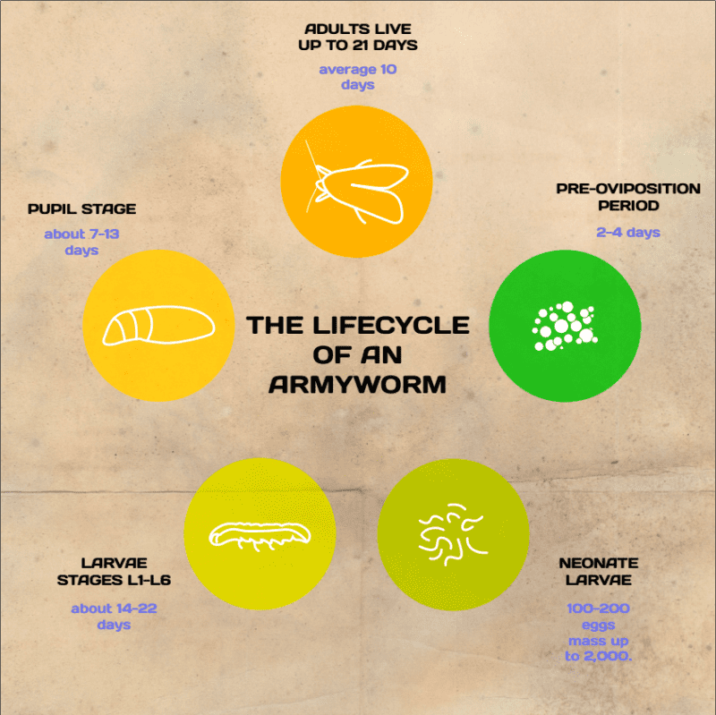 Life Cycle of an Army Worm