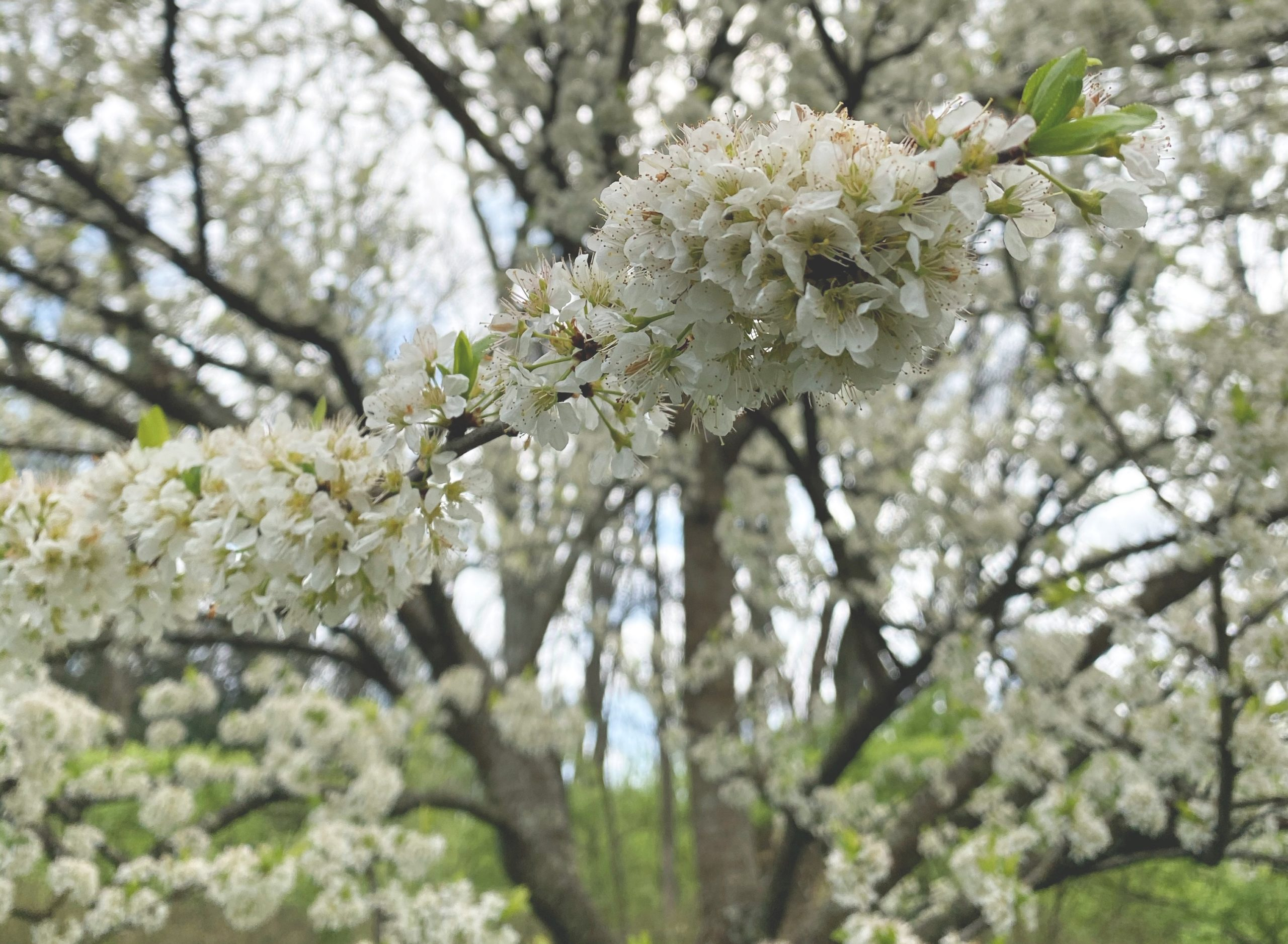 Cherry Tree - White Blossoms