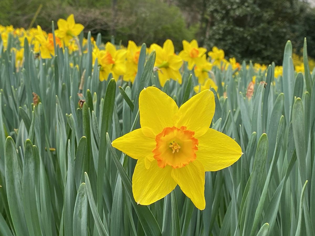 Large Daffodil Blooming