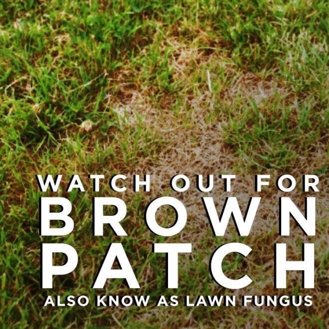 Lawn Fungus - Brown Patch